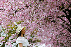 2019_03_22_Cherry_Blossoms_DHA