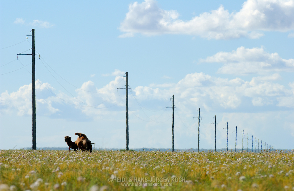 Mongolei, MNG, 2003: Kamel (Camelus bactrianus) steht zwischen einer Reihe von Strommasten, Süd-Gobi. Das Gras der Steppe blüht, was äußerst selten in dieser Gegend ist. Grund hierfür ist ein ungewöhnlich regenreicher Sommer. | Mongolia, MNG, 2003: Camel, Camelus bactrianus, standing in the long row of electricity poles in the South Gobi, grass of the steppe is blooming, very rare for this region, there was a unusual rainy summer, South Gobi. |
