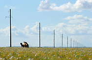 Mongolei, MNG, 2003: Kamel (Camelus bactrianus) steht zwischen einer Reihe von Strommasten, Süd-Gobi. Das Gras der Steppe blüht, was äußerst selten in dieser Gegend ist. Grund hierfür ist ein ungewöhnlich regenreicher Sommer. | Mongolia, MNG, 2003: Camel, Camelus bactrianus, standing in the long row of electricity poles in the South Gobi, grass of the steppe is blooming, very rare for this region, there was a unusual rainy summer, South Gobi. |