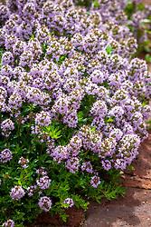 Thymus vulgaris 'Jekka' - Jekka's Thyme.