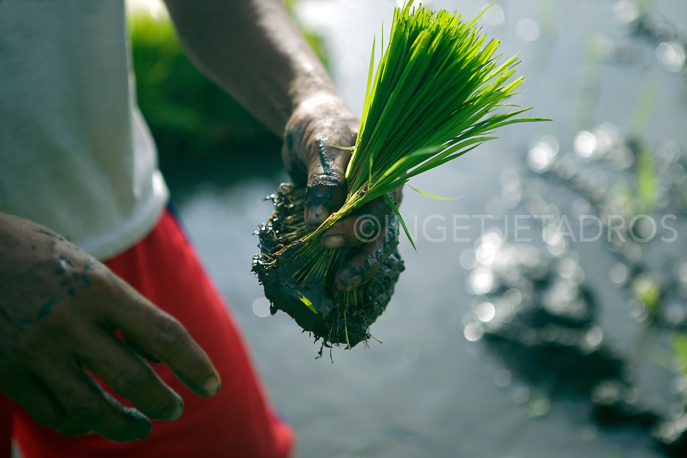 Man holding a bunch of riceplants, ready to plant.<br /> &copy;Ingetje Tadros Exclusive at Getty Images.<br /> http://www.gettyimages.com.au/Search/Search.aspx?contractUrl=2&amp;language=en-US&amp;assetType=image&amp;p=ingetje+tadros