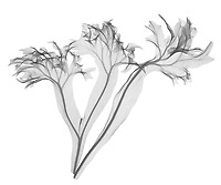 X-ray image of dwarf elkhorn fern fronds (Polypodium grandiceps, black on white) by Jim Wehtje, specialist in x-ray art and design images.