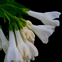 Close-up portrait of the relatively rare white version of the Virginia bluebell (Mertensia virginica), Trout Run Park, George Washington Memorial Parkway, Virginia.
