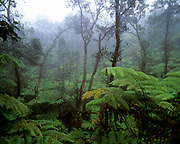Rainforest, HVNP, Island of Hawaii