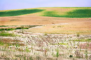 Ripening Wheat and Field Grasses, Palouse Region, Washington State