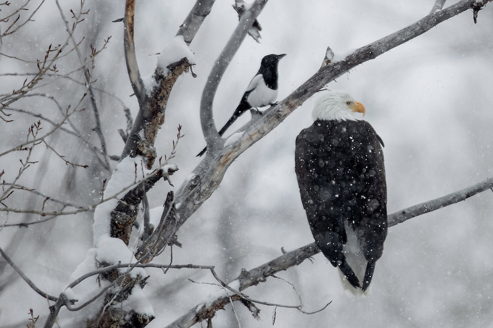 In the Greater Yellowstone Ecosystem, eagles are often alerted to the site of a winter-kill by the presence of magpies and ravens. These birds are usually the first to spot a carcass, but they need the sharp beak and talons of an eagle to open it for them.