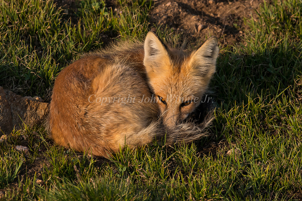 Red fox, Beartooth Plateau, Montana, Wyoming