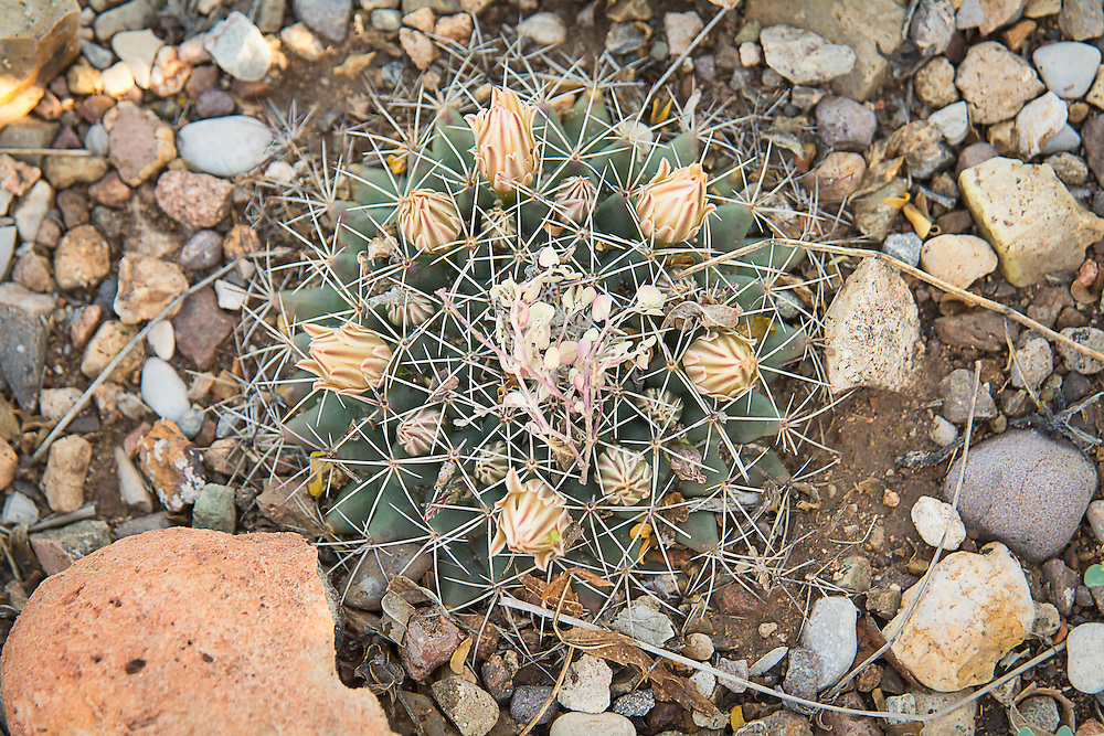 This unusual flattened, short cactus is more common in its range than one might think, but because it barely grows above the ground level and can be as wide as four inches. Easier to find in the spring and summer, it can be difficult to spot in the winter when it is nearly below ground level and may be partially covered in gravel. The little nipple cactus (as well as all other members of its genus) are much more common in Mexico, but this species can be found in the United States in Texas, Colorado, New Mexico, Arizona and Oklahoma. This one was found as it was just about to flower in Big Bend National Park, in the lowlands just north of the Chisos Mountains in Western Texas.
