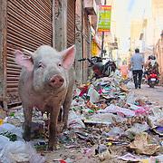 Pig feeding on a pile of garbage at Jaipur