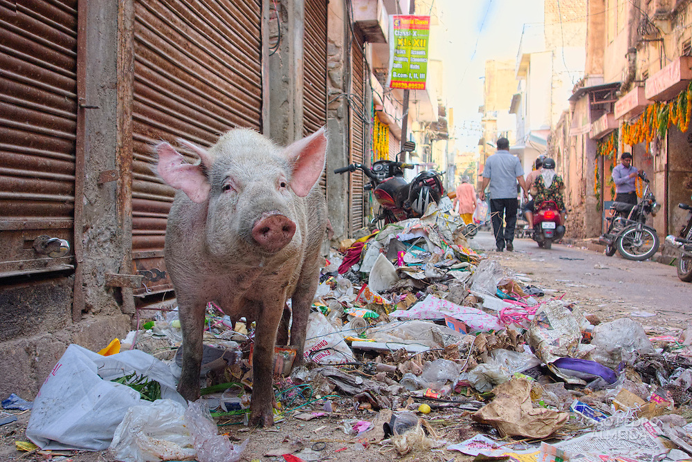 Pig feeding on a pile of garbage at Jaipur