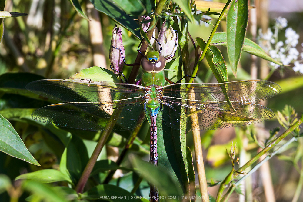 Green Darner or Common Green Darner (Anax junius),  is a species of dragonfly in the family Aeshnidae.and is one of the most common and abundant species throughout North America.