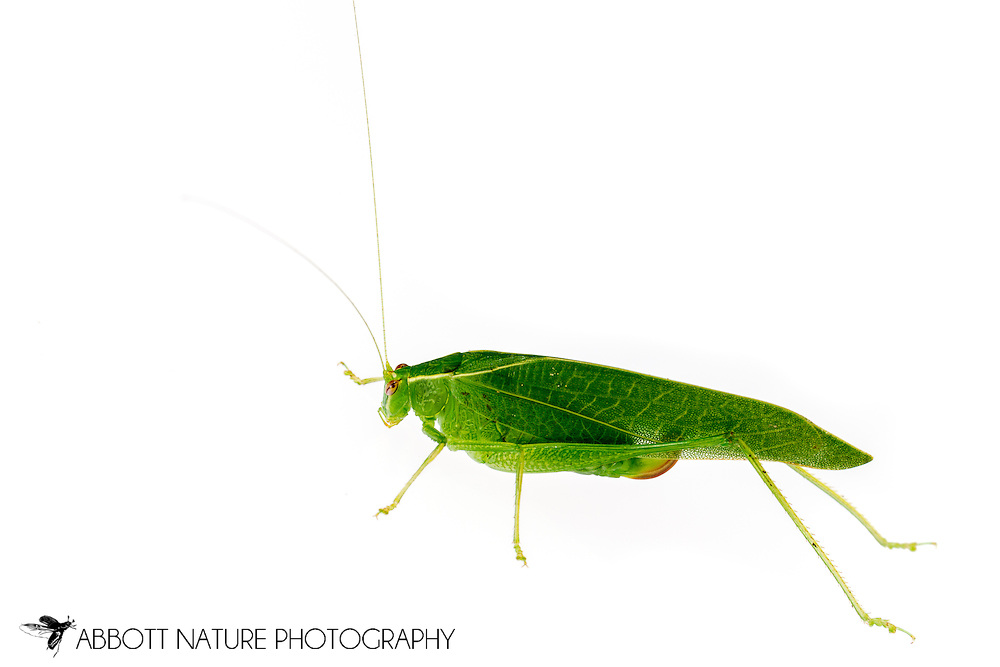 Modest Katydid (Montezumina modesta)<br /> United States: Alabama: Tuscaloosa Co.<br /> Tulip Tree Springs off Echola Rd.; Elrod<br /> 22-Jul-2016<br /> J.C. Abbott #2851