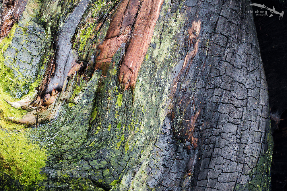 Bark detail. Sequoia National Park, California.