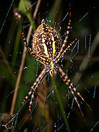 Banded Garden Spider.  (Agriope trifasciata), Courtenay, British Columbia, Canada, Isobel Springett