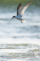 Common Tern feeding in the surf zone on brine shrimp, Buffalo Bay, Western Cape, South Africa