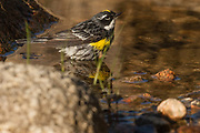 Yellow Rumped Warbler, Acadia National Park, Maine