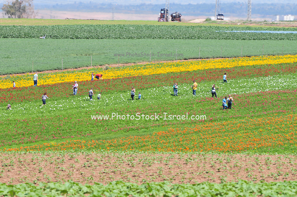 Israel, A field of cultivated Buttercups People self picking the flowers