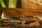 Palmate newt (Triturus helveticus)  courtship and mating rituals | Das Fadenmolch-Männchen (Triturus helveticus) umwirbt ein Weibchen. Bei der Balz vollführt das Männchen schlängelnde Bewegungen mit seinem seitlich geklappten Schwanz, an dessen Spitze nur zu dieser Jahreszeit ein 5 bis 10 mm langer, fadenförmiger Anhang ausgebildet ist.