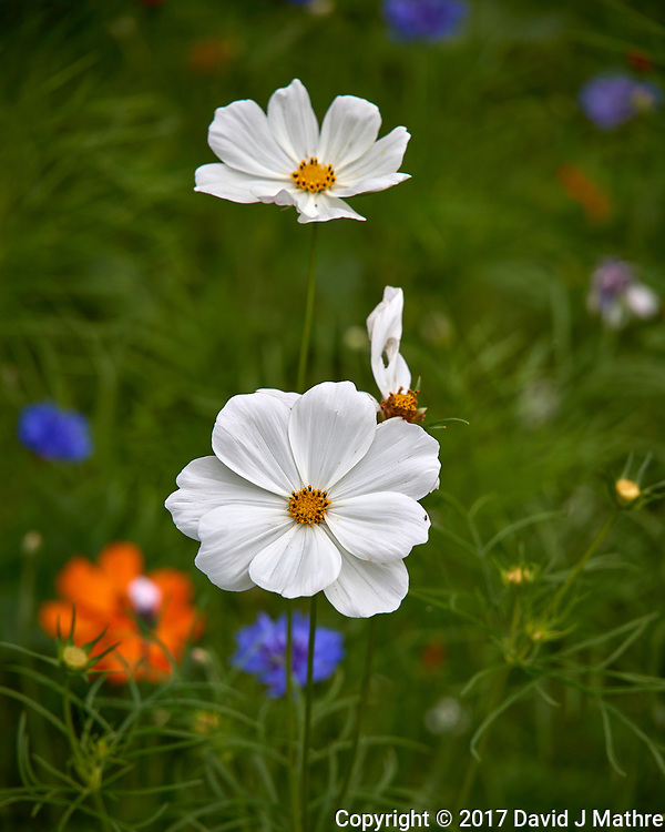 White Cosmos flowers in my backyard wildflower meadow. Summer nature in New Jersey. Image taken with a Leica T camera and 55-135 mm zoom lens (ISO 100, 134 mm, f/5.6, 1/800 sec).