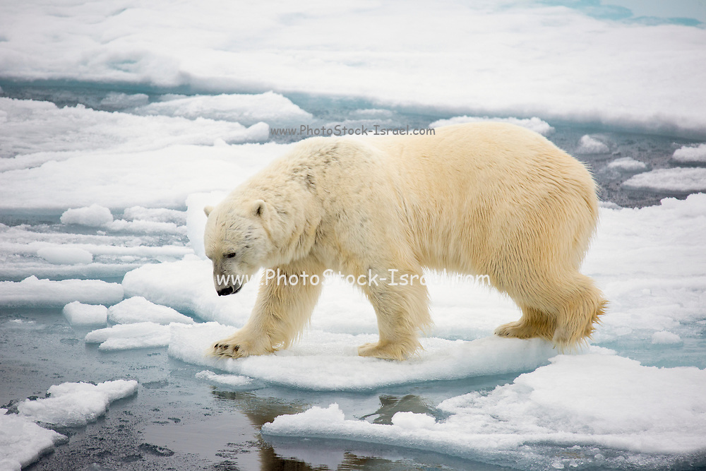 A Polar Bear (Ursus maritimus) hunting seals on rotten sea ice off the north coast of Spitsbergen, Svalbard only 500 miles from the North Pole. Climate change poses a huge threat to Polar Bears. As the sea ice retreats, they lose ground and time to hunt their main prey, seals, which they can only hunt on sea ice. Latest research shows that the Arctic will be free of sea ice by the 2050's and Polar Bears will become extinct in the wild.