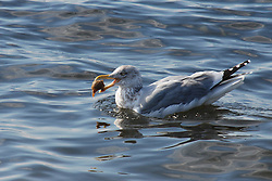 A third year Herring Gull has caught a Channel Whelk for diner off the coast of Rhode Island, USA.