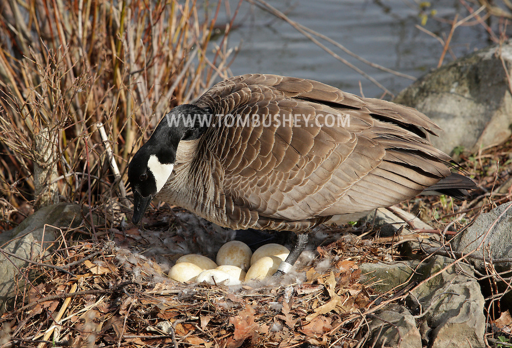 Middletown, New York - A female Canada goose checks on the eggs in its nest on April 20, 2011.