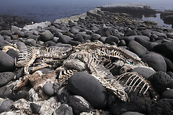 USA ALASKA ST PAUL ISLAND 8JUL12 - Reindeer carcasses dumped on the shore of  the island of St. Paul in the Bering Sea, Alaska.....Photo by Jiri Rezac / Greenpeace....© Jiri Rezac / Greenpeace