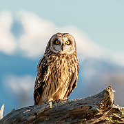 Short-eared owl with Mt. Baker in background.  Skagit Valley, Washington.