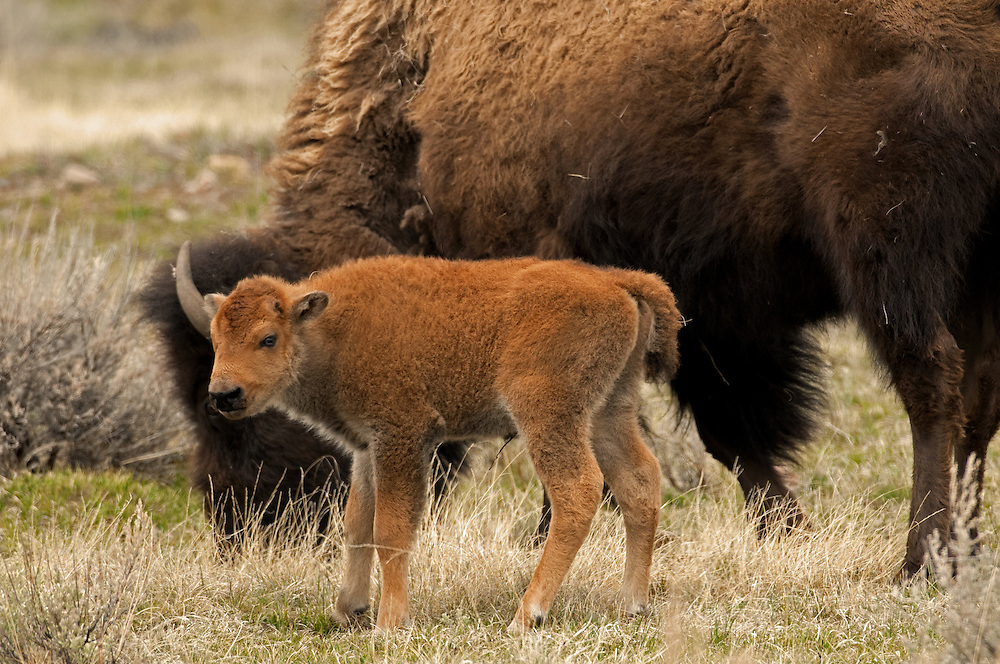 Young bison calves are very playful and spend most of their days either sleeping or playing with the other young members of the herd. This small calf paused near his mother after an exhausting round of play.