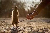 Meerkats BioGraphic