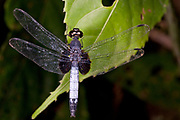 Unidentified dragonfly from La Selva, Ecuador.