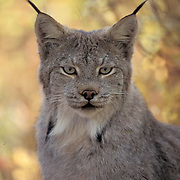 Canada Lynx, (Lynx canadensis) Portrait of adult in forest. Fall. Rocky mountains. Montana.  Captive Animal.