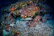 Forkbeard-Mostelle (Phycis phycis) of Méditerranée.