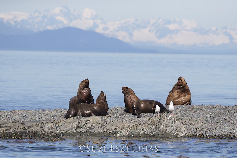 Steller Sea Lion<br /> Eumetopias jubatus<br /> Young males sparring with large bull in background<br /> Prince William Sound, Alaska