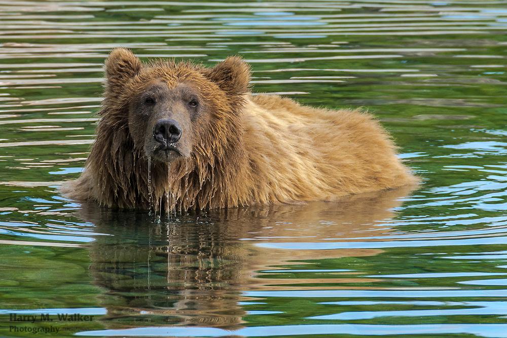 Brown bear (Ursus arctos); in Kuliak Bay; Katmai National Park; Alaska