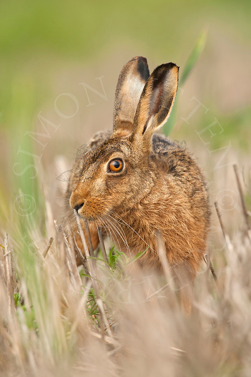 European Hare (Lepus europaeus) adult in set-aside stubble field, Norfolk, UK.