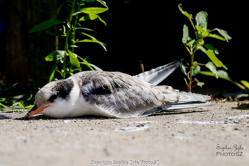 Nano Chick the Common Tern Chick takes a nap