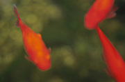 A blurred abstraction of red goldfish in a green pond