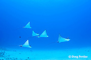 schooling spotted eagle rays, Aetobatus narinari, Honokohau, Kona, Hawaii Island ( the Big Island ), Hawaii, USA ( Central Pacific Ocean )