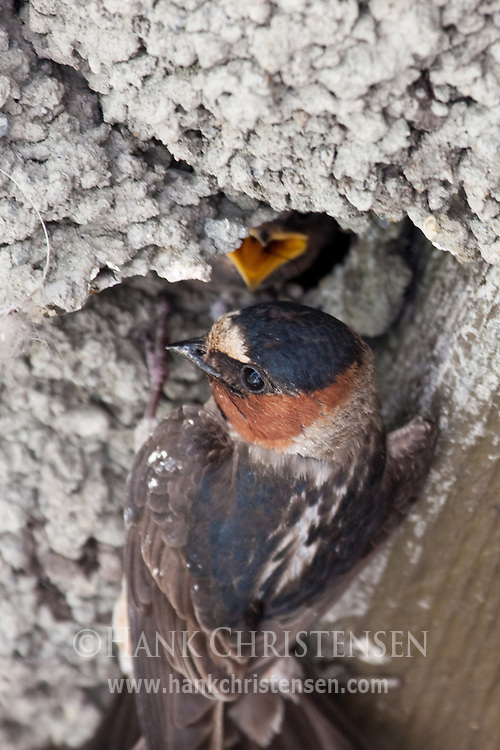 Cliff Swallow feeds its chick at the nest
