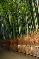 Arashiyama bamboo forest scenery in bright morning sunshine, Kyoto, Japan.