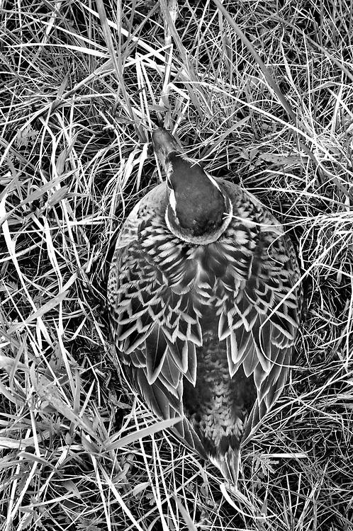 Long-tailed Duck, Clangula hyemalis, female on nest, Yukon Delta NWR, Alaska