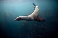 Phocarctos hookeri (New Zealand Sea Lion)