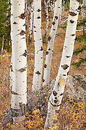 Fall colors dot a grove of aspen, Grand Teton National Park