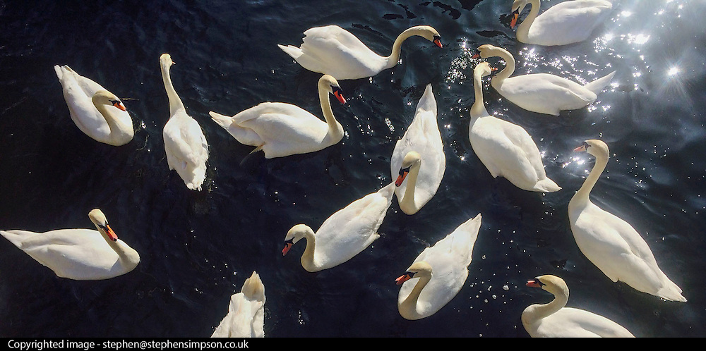 © Licensed to London News Pictures. 09/03/2014. Kingston, UK Swans feed in the sunshine in Kingston Upon Thames today 9th March 2014. Photo credit : Stephen Simpson/LNP
