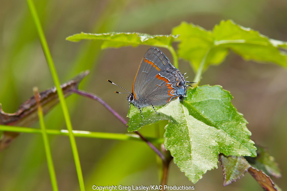 Red-banded Hairstreak<br /> Calycopis cecrops<br /> Indian Creek,<br /> Jasper Co., Texas<br /> 24 March 2013