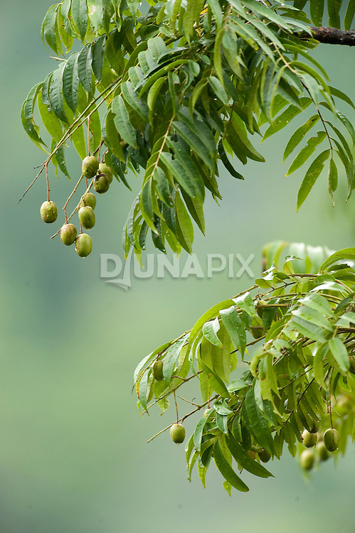 A fruiting tree near the Morite canopy platform attracts giant fruit bats, parrots, and colorful fruit doves to feed.
