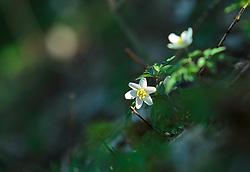 THEMENBILD - das Buschwindröschen (Anemone nemorosa) gehört zur Familie der Hahnenfußgewächse. Die giftige Frühlingsblume wächst besonders gerne in Laub- und Nadelwäldern, aufgenommen am 07. April 2018, Kaprun, Österreich // the wood anemone (Anemone nemorosa) belongs to the family of the Hahnenfußgewächse. The poisonous spring flower likes to grow in deciduous and coniferous forests on 2018/04/07, Kaprun, Austria. EXPA Pictures © 2018, PhotoCredit: EXPA/ Stefanie Oberhauser