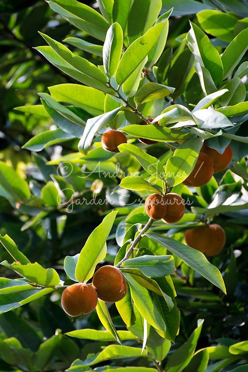 Diospyros blancoi (Butter fruit, Velvet apple, Mabolo) fruit - member of the ebony family<br /> <br /> Singapore Botanic Garden, Singapore
