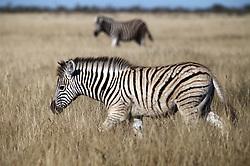 NAMIBIA ETOSHA 29APR14 - A herd of Zebra seen in the Etosha pan near Okaukuejo, Etosha National Park, Namibia. <br /> <br /> <br /> <br /> jre/Photo by Jiri Rezac<br /> <br /> <br /> <br /> © Jiri Rezac 2014
